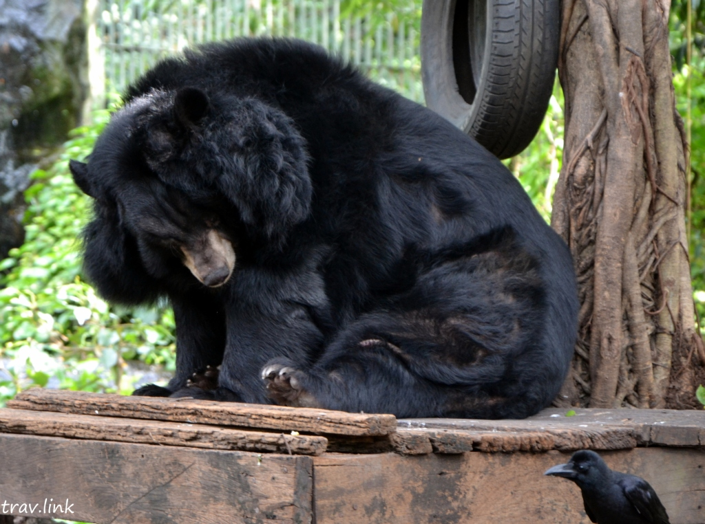 Зоопарк Дусит в Бангкоке щекастый медведь