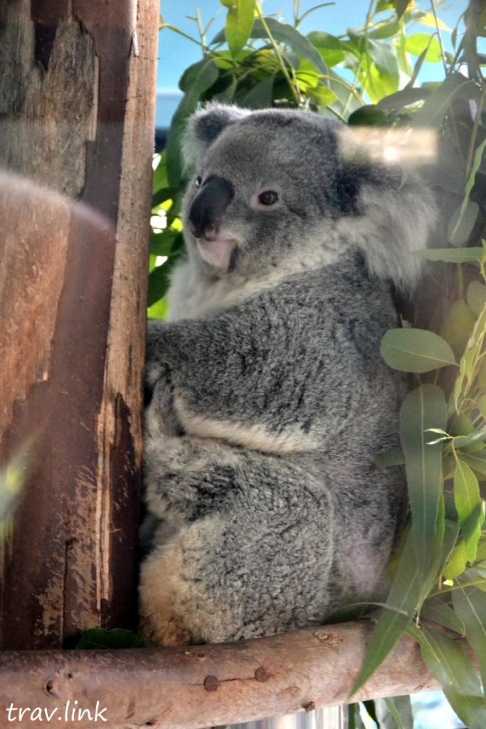 Зоопарк Дусит в Бангкоке: коала