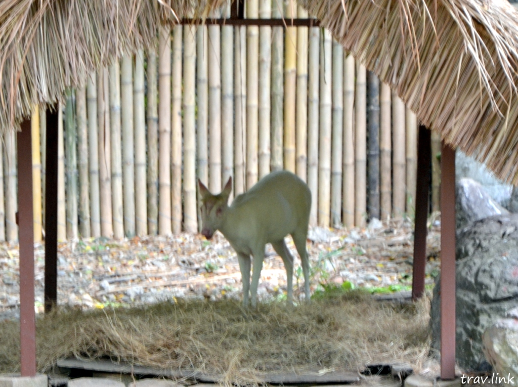 Зоопарк Дусит в Бангкоке: безрогий олень-альбинос