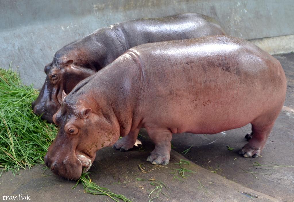 Зоопарк Дусит в Бангкоке: бегемоты